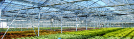Open shading screens in a greenhouse